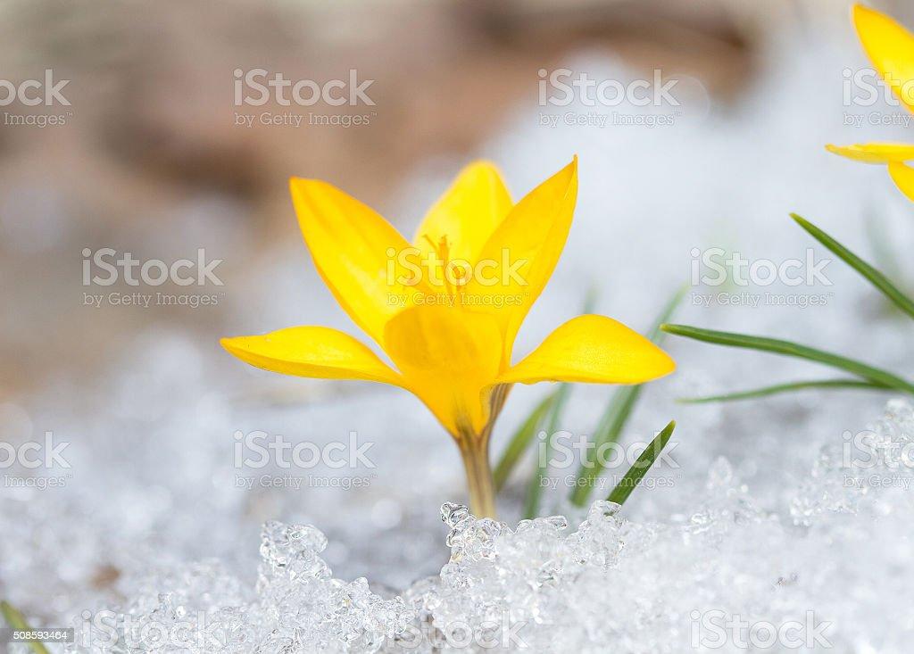 Blossom yellow crocus stock photo