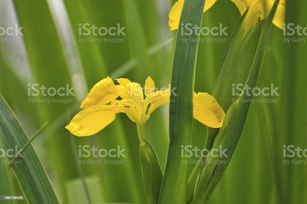 Blossom yellow gladiolus flower royalty-free stock photo