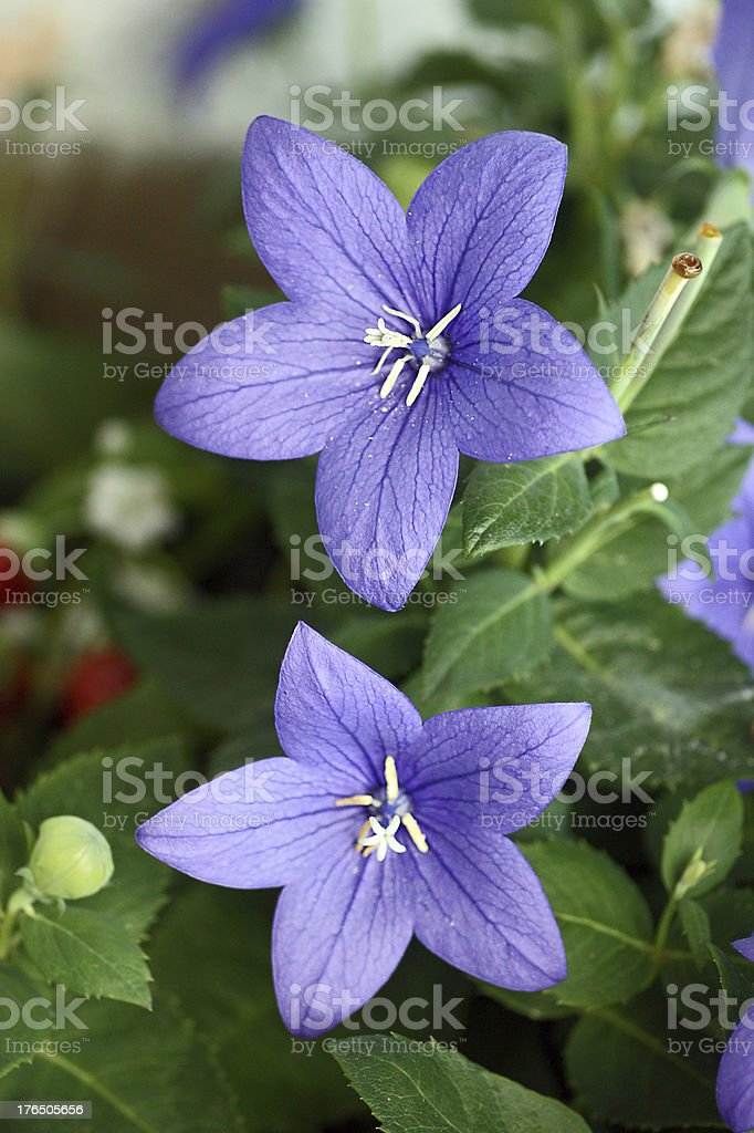 Blossomed balloon flower stock photo