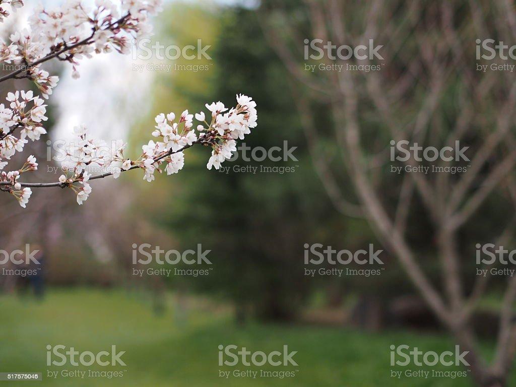 Blossomed cherry flower stock photo