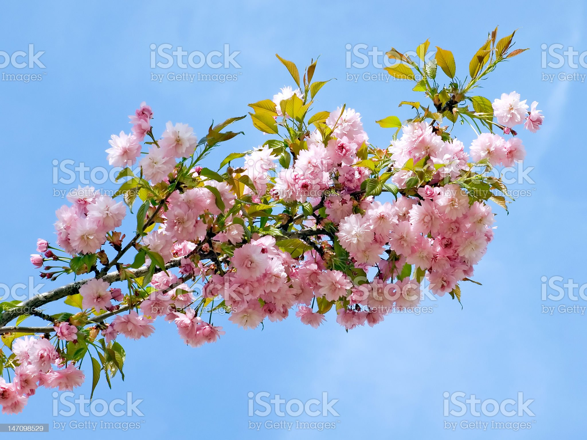 Blossomed cherry. royalty-free stock photo