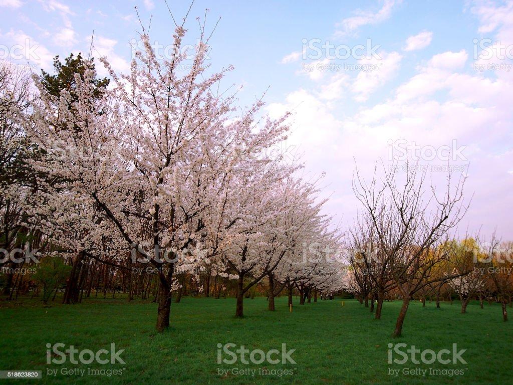 Blossomed cherry trees stock photo
