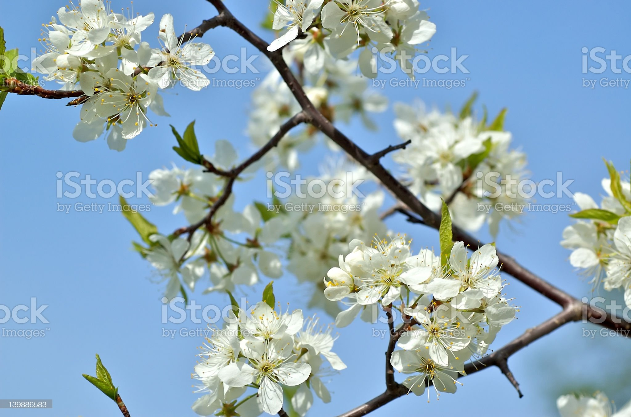 Blossomed plump-tree royalty-free stock photo