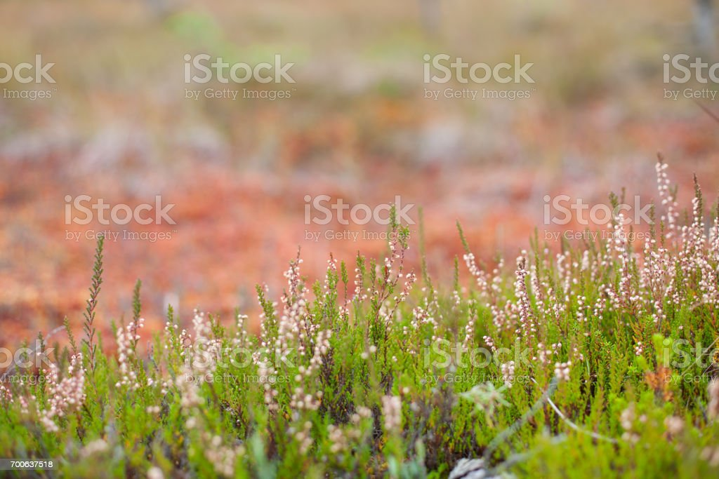 Blossomed soft pink scotch heather (Calluna vulgaris) bush with a shallow depth of field and a colorful fall peatland in the background stock photo