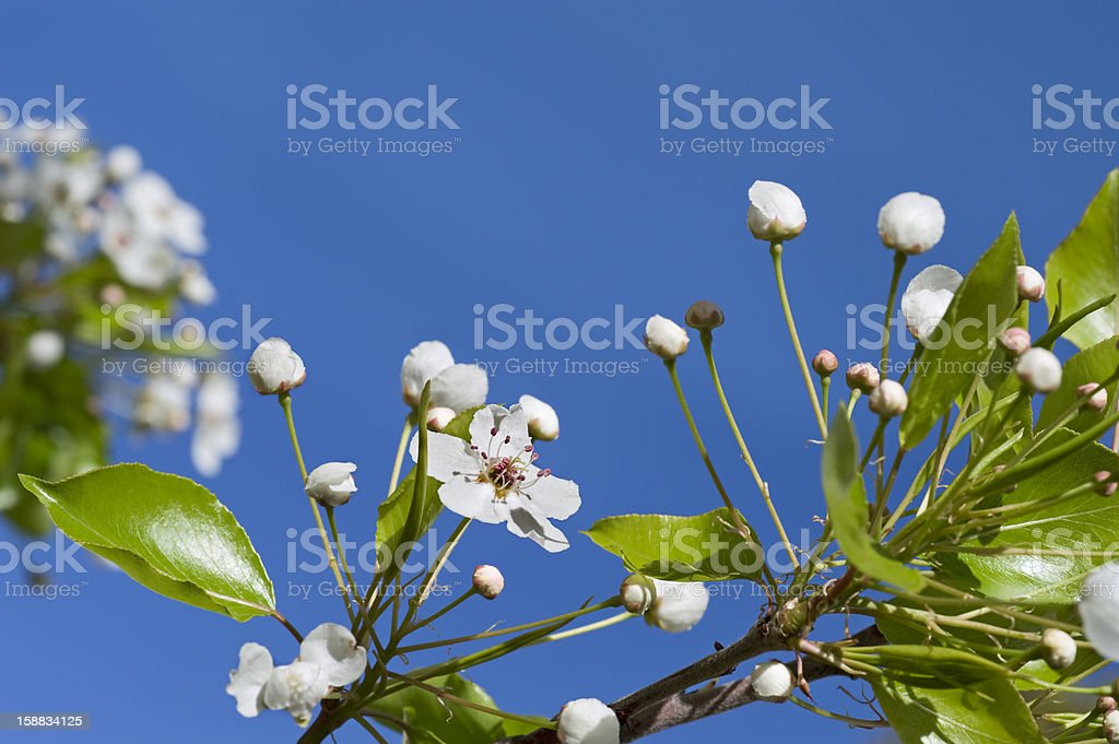 Blossomed Tree Flowers on Spring Blue Sky royalty-free stock photo