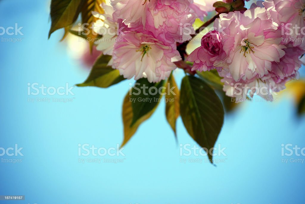 Blossomg tree in spring, very shallow DOF royalty-free stock photo