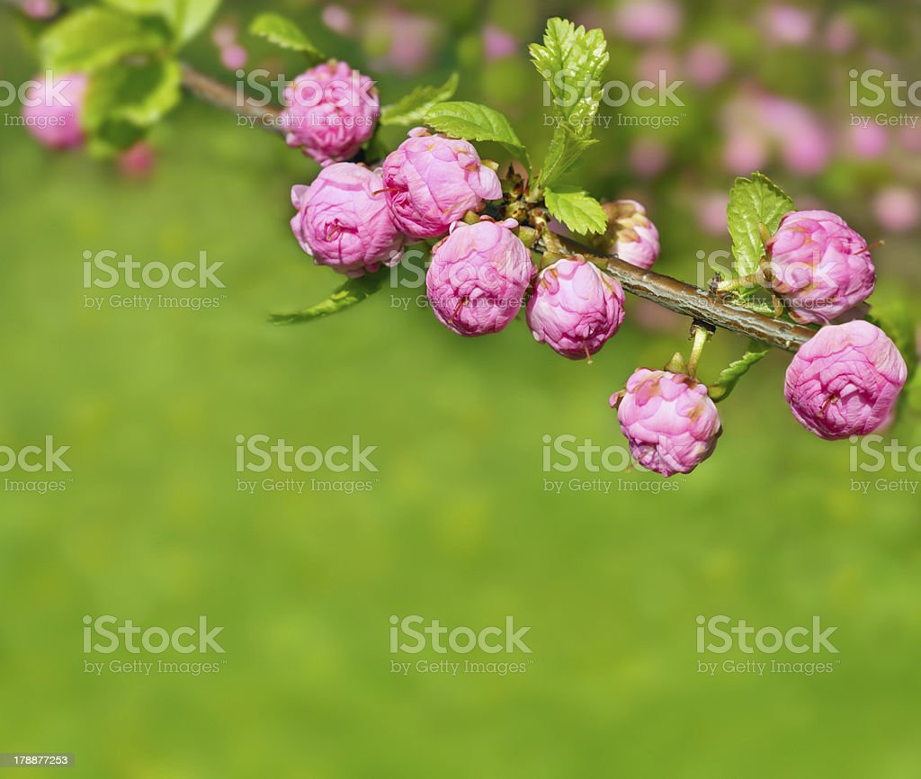 Blossoming almond royalty-free stock photo