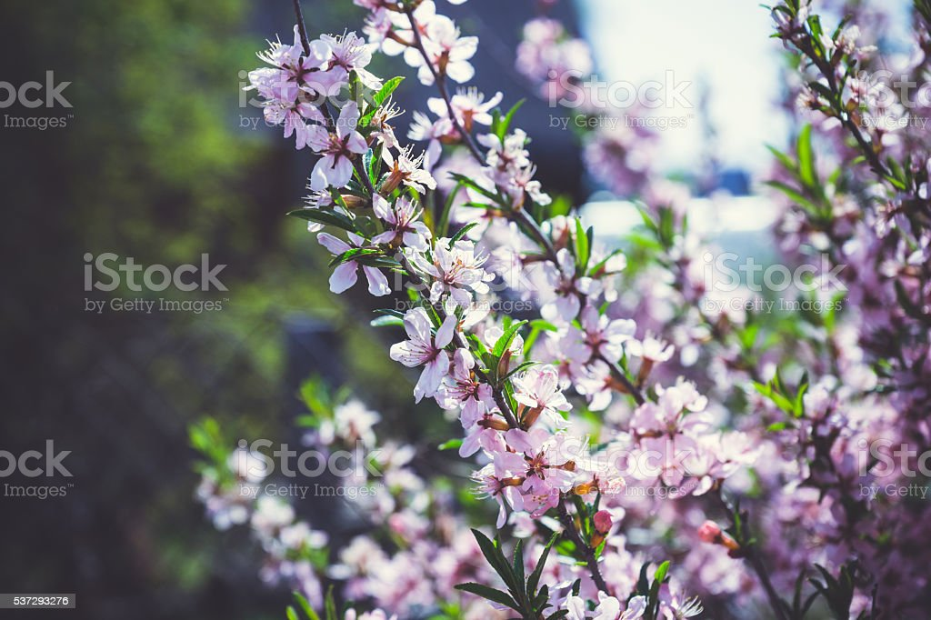 Blossoming almond steppe stock photo