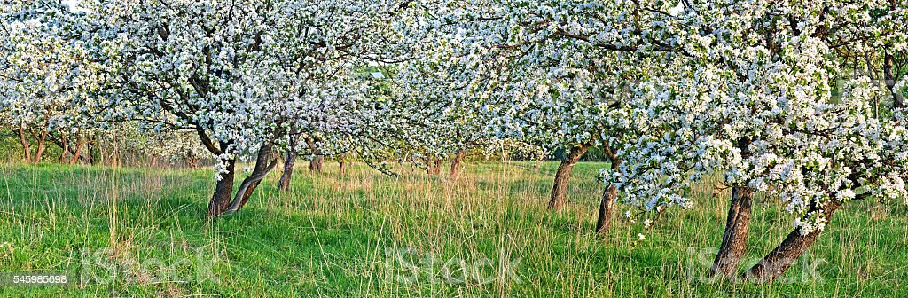 Blossoming Apple garden, close up view. stock photo