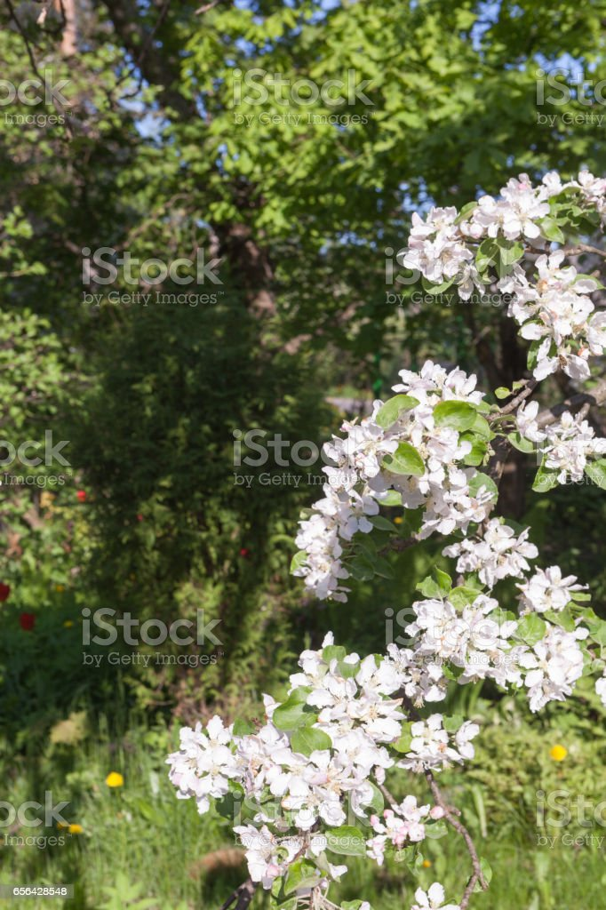 Blossoming apple. Natural background stock photo