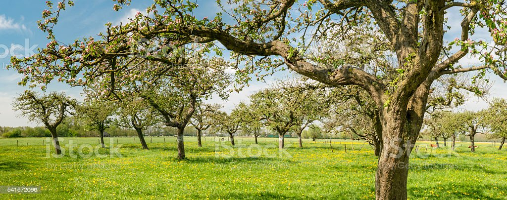 Blossoming Apple trees in an orchard stock photo