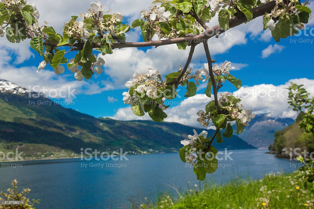 Blossoming apples orchard of Lofthus stock photo