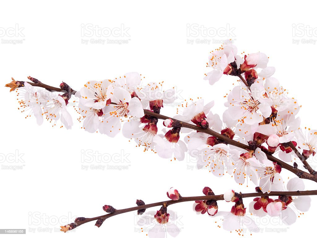 Blossoming apricot royalty-free stock photo