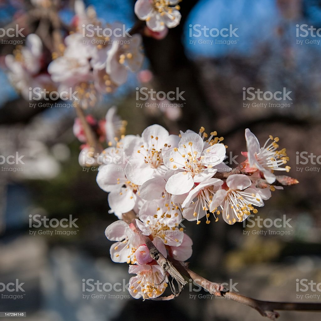 Blossoming apricot-tree royalty-free stock photo