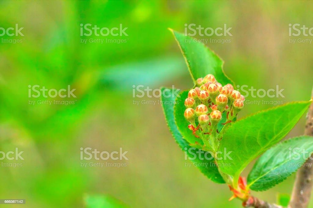 Blossoming aronia. stock photo