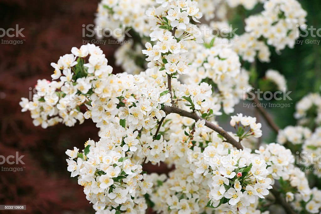 Blossoming blackthorn plant (Prunus spinosa) stock photo
