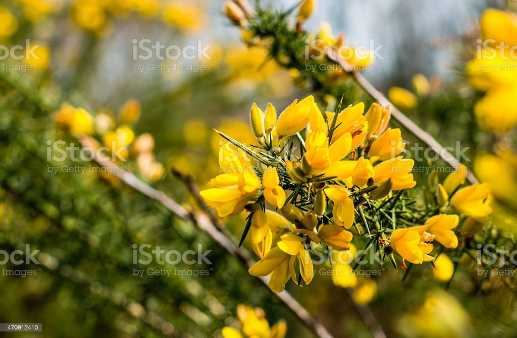 Blossoming branch of a Common broom shrub stock photo