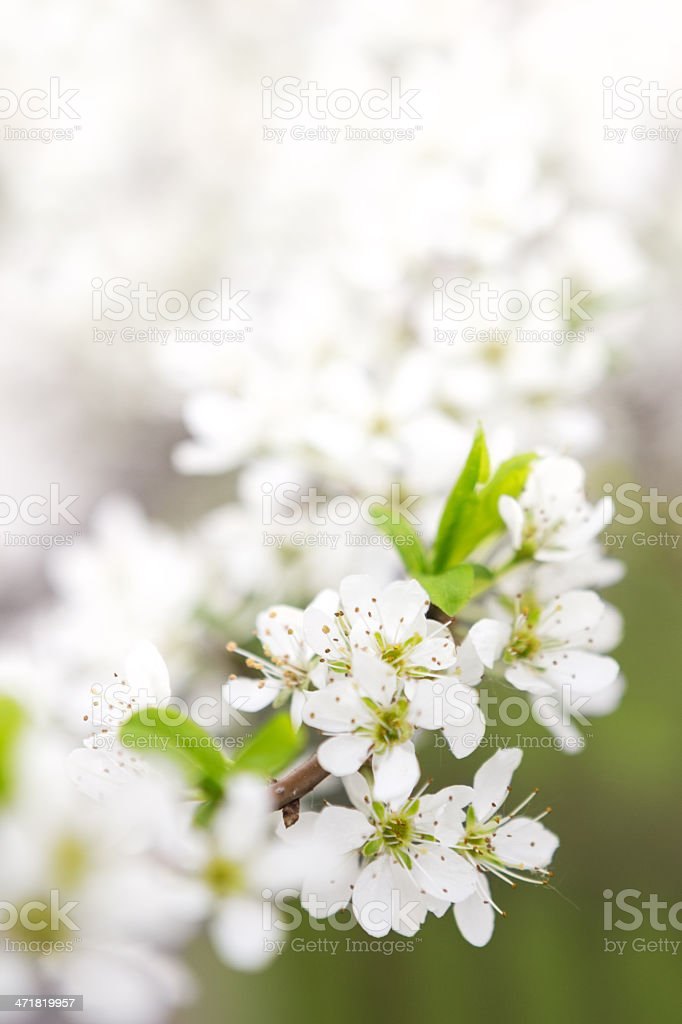 Blossoming branch of apple-tree in sunny day royalty-free stock photo