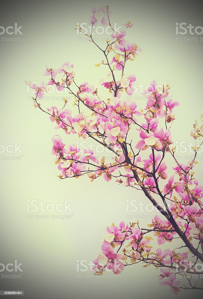 Blossoming branch of magnolia flowers stock photo