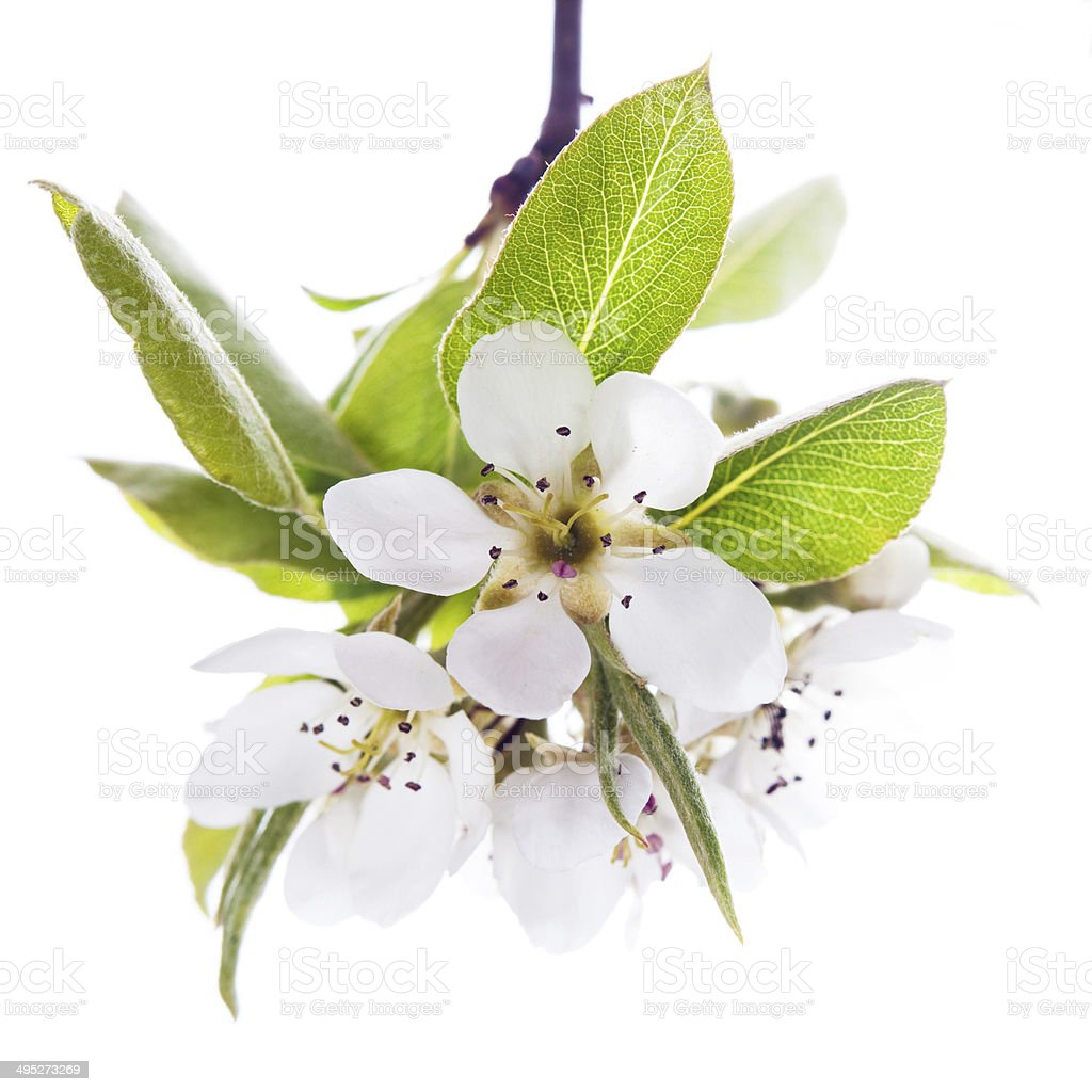 Blossoming branch  pears stock photo