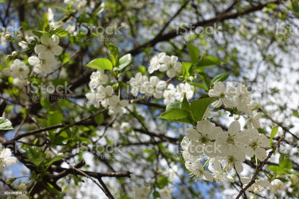 Blossoming branches of cherry in early spring stock photo