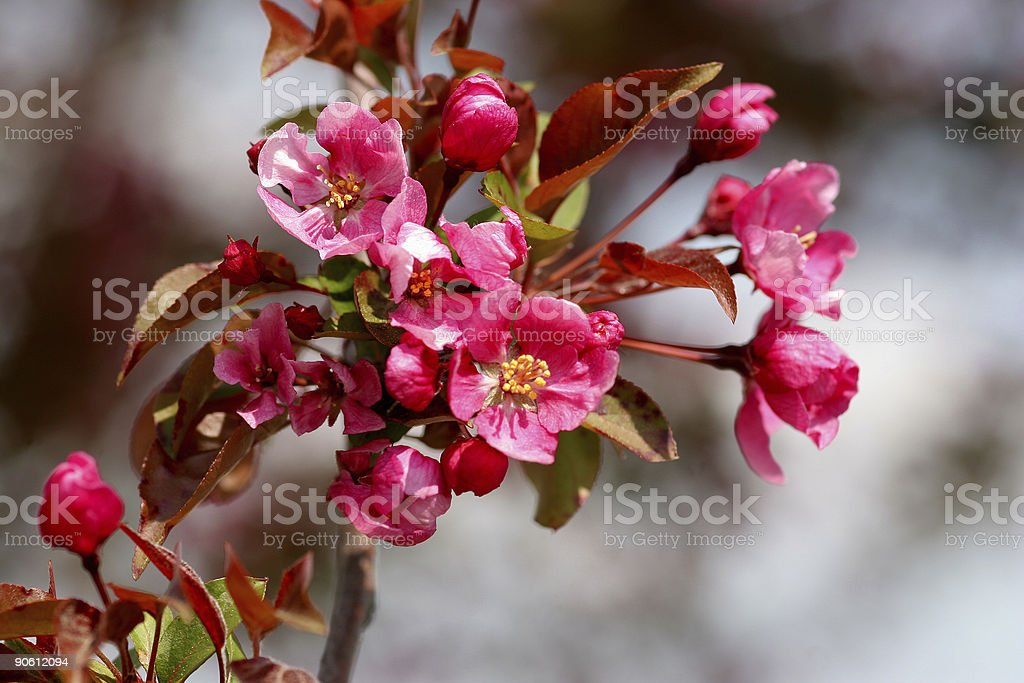 blossoming brunches royalty-free stock photo