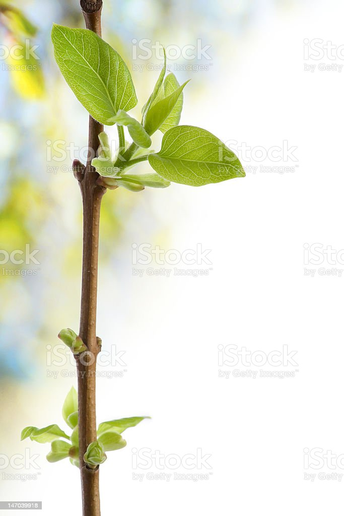 Blossoming buds and leafs. Spring. royalty-free stock photo