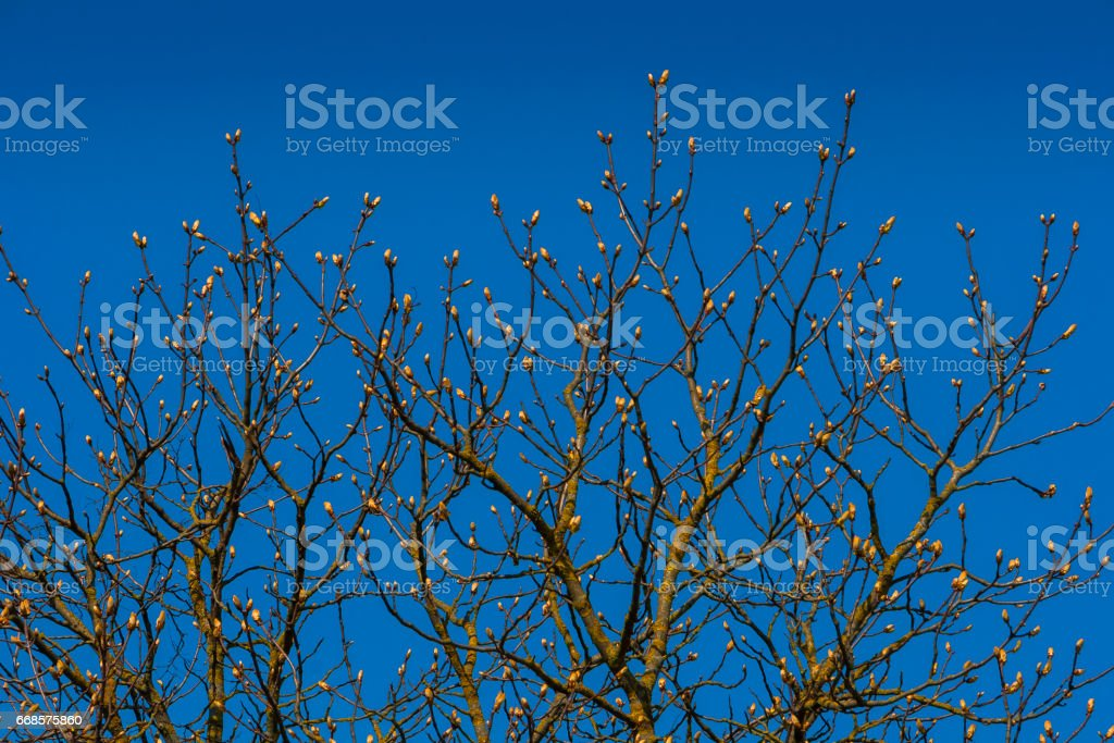 Blossoming buds of chestnut stock photo