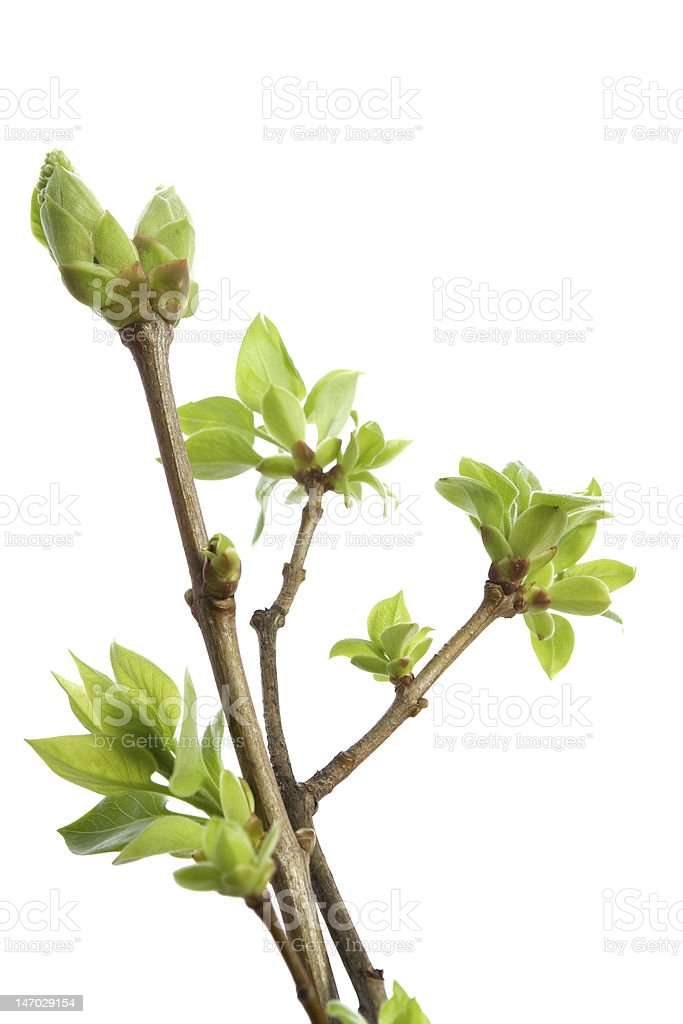 Blossoming buds of lilac. Spring royalty-free stock photo