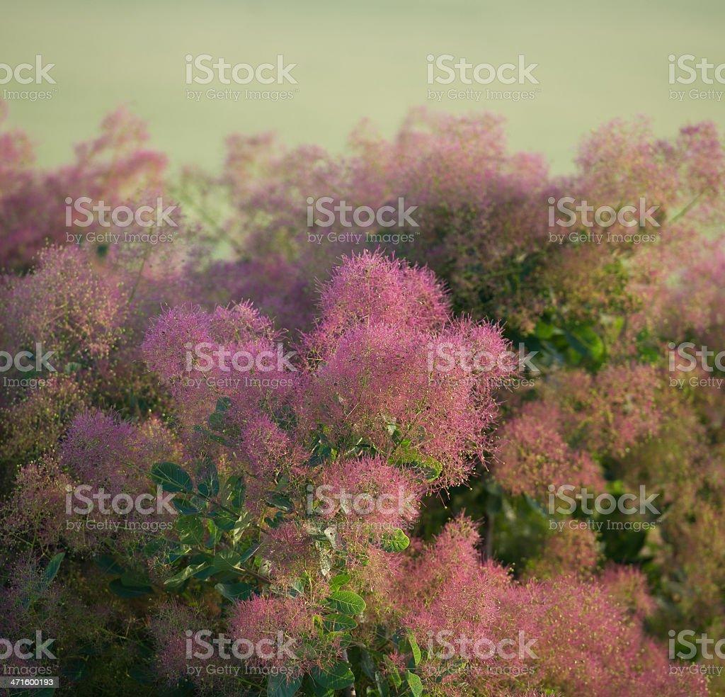 blossoming bush royalty-free stock photo