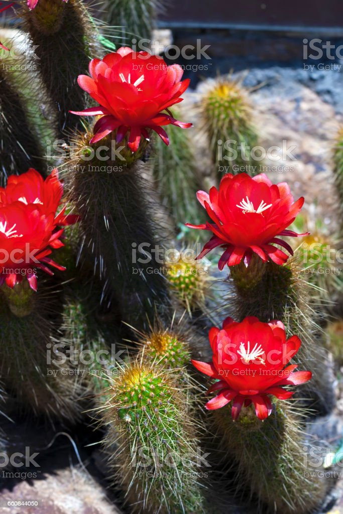 Blossoming cactus. Red flowers stock photo