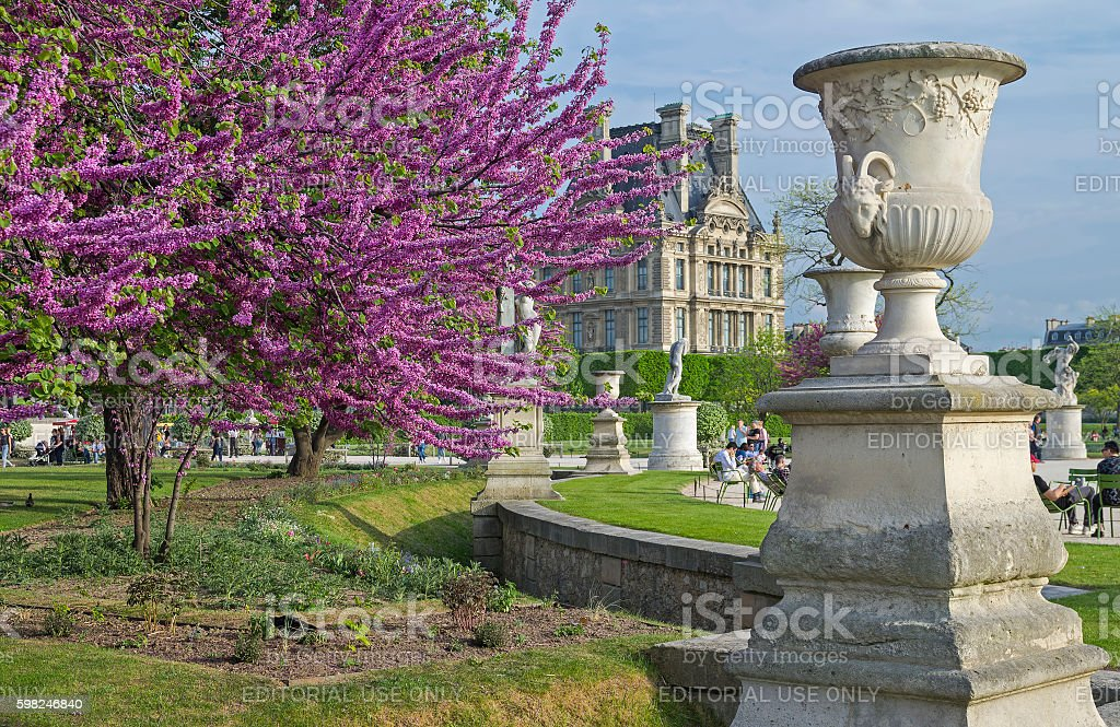 Blossoming Cercis Siliquastrum (Judas tree). stock photo