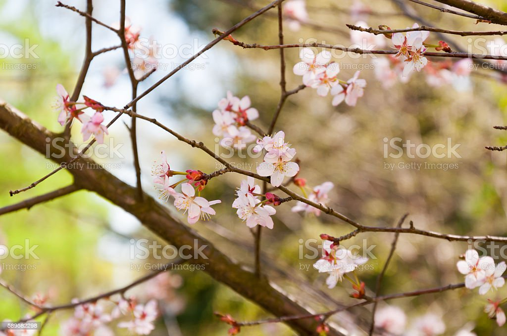 Blossoming Cherry Branch stock photo