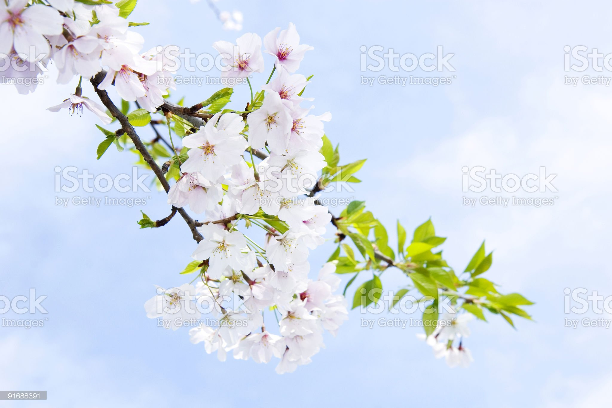 Blossoming cherry in spring royalty-free stock photo