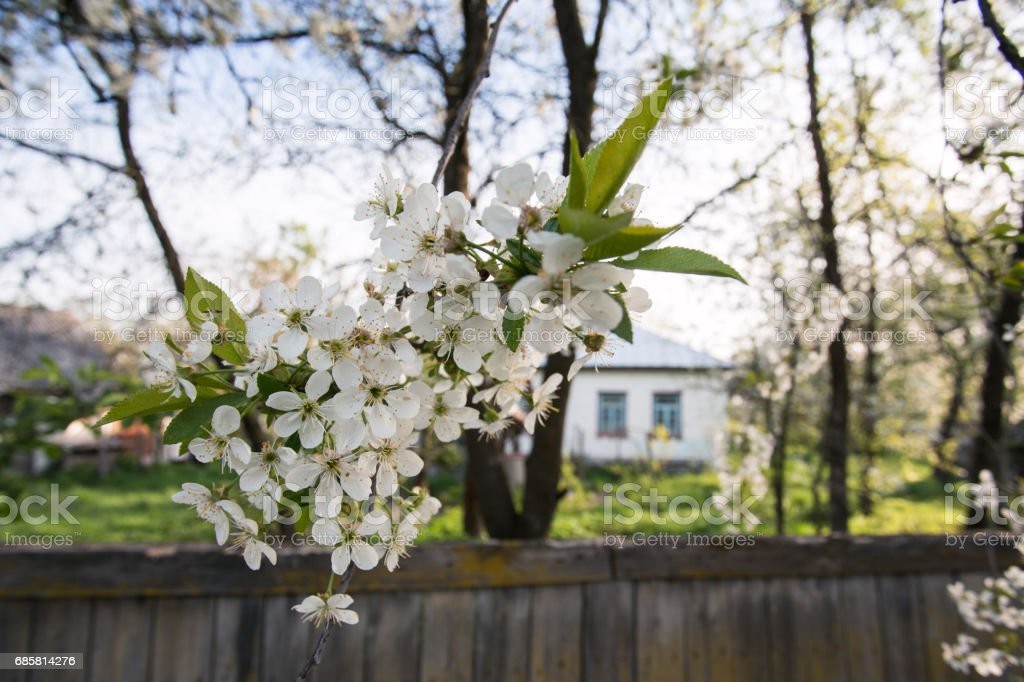 Blossoming cherry tree at rural scene stock photo