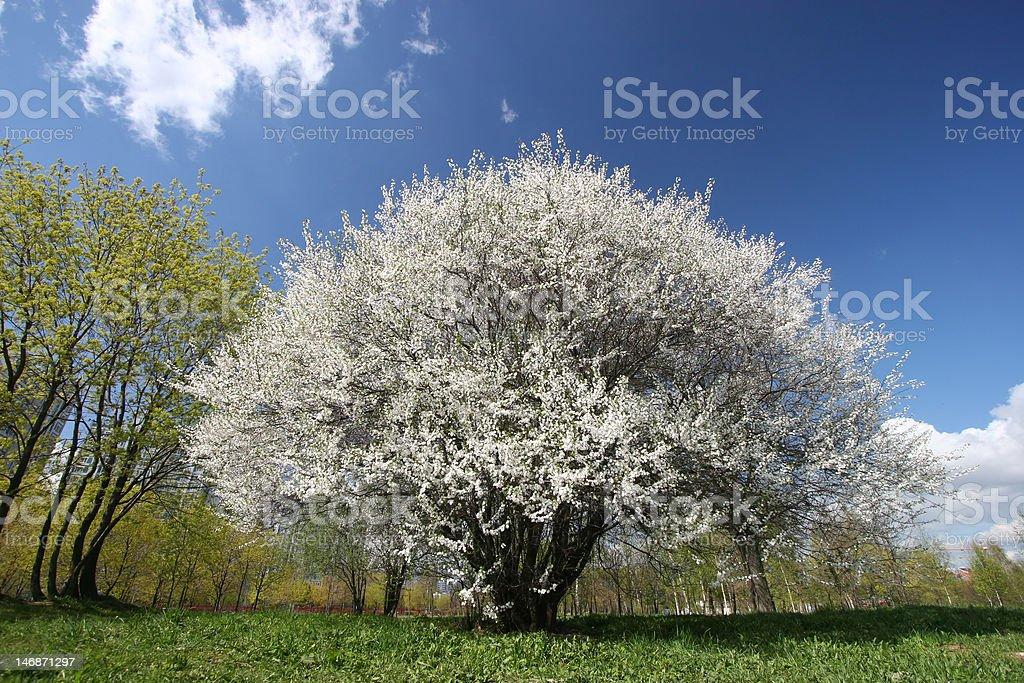 Blühenden Kirschbaum Lizenzfreies stock-foto