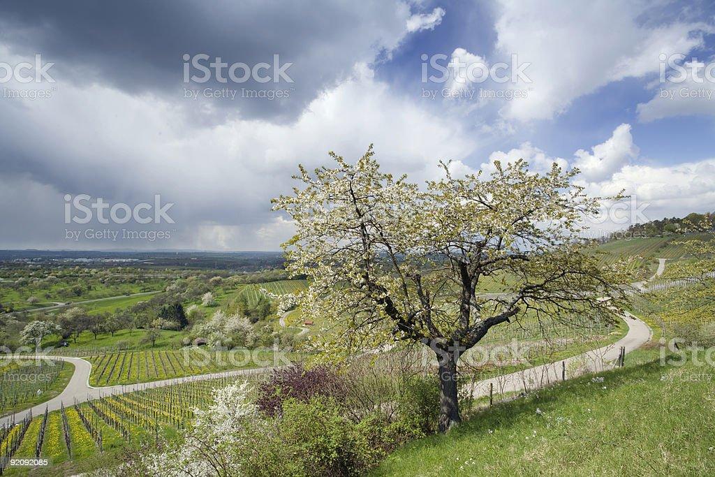 blossoming cherry tree royalty-free stock photo