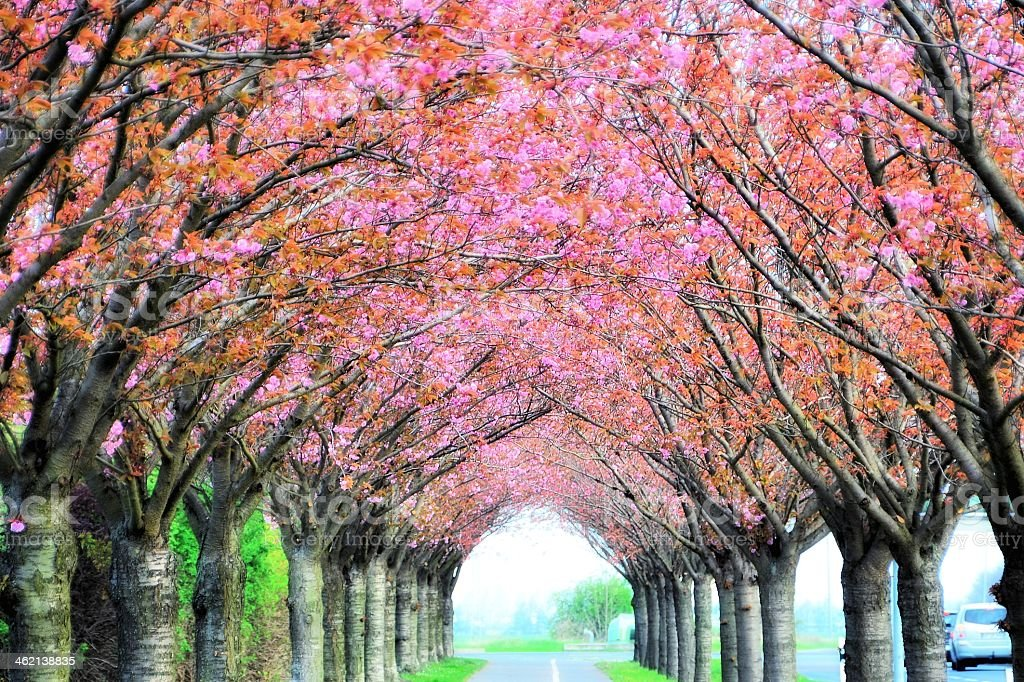 Blossoming cherry trees hovering over a street stock photo