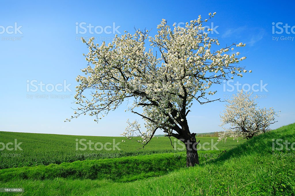 Blossoming Cherry Trees in Green Fields royalty-free stock photo