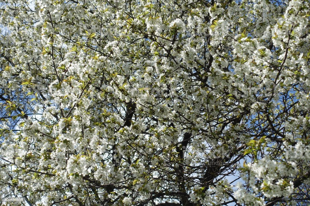 Blossoming cherry trees in the orchard in spring stock photo
