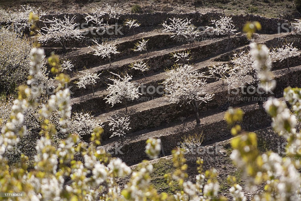 Blossoming cherry trees stock photo