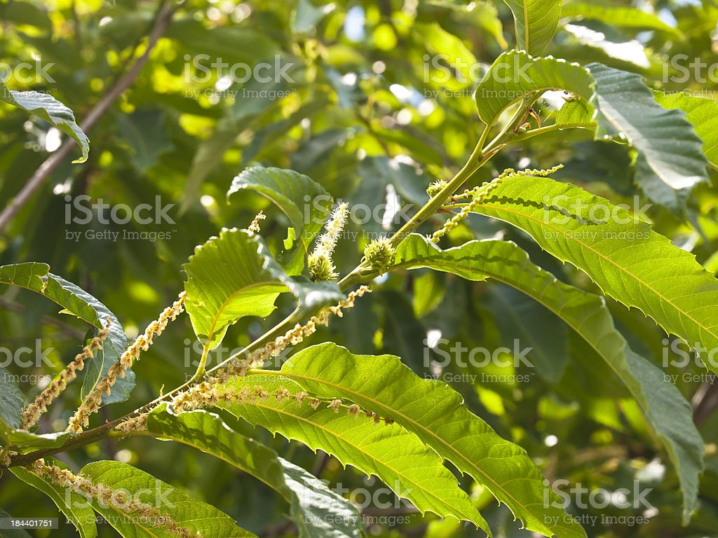 Blossoming chestnut royalty-free stock photo
