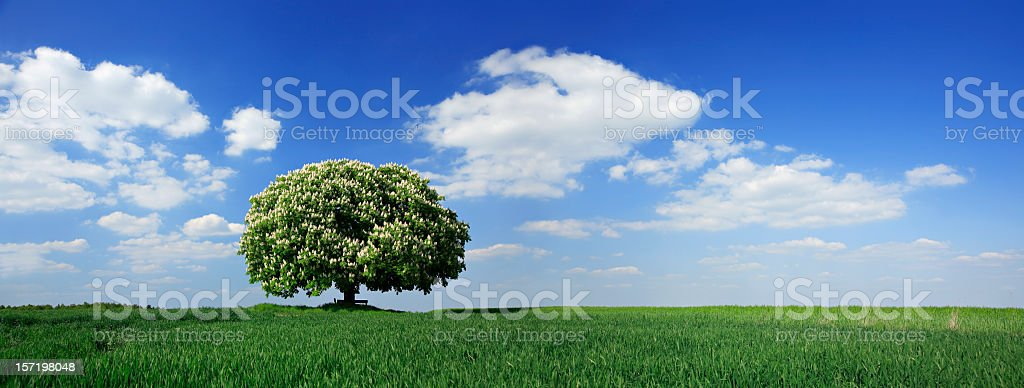 Blossoming Chestnut Tree Panorama royalty-free stock photo