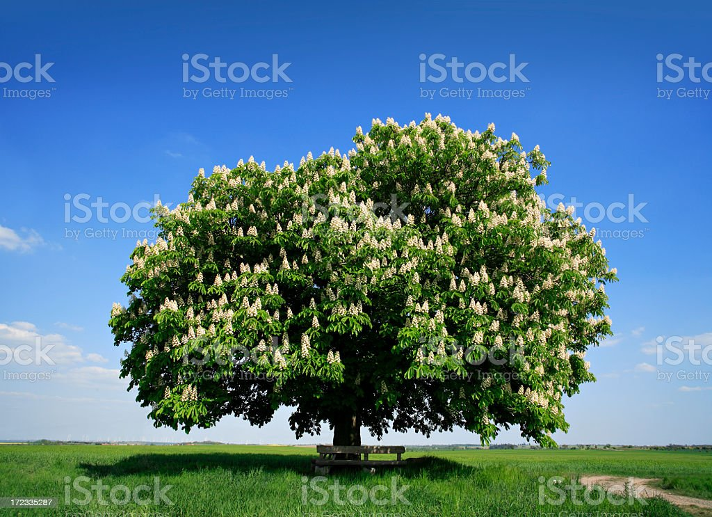 Blossoming Chestnut Tree royalty-free stock photo
