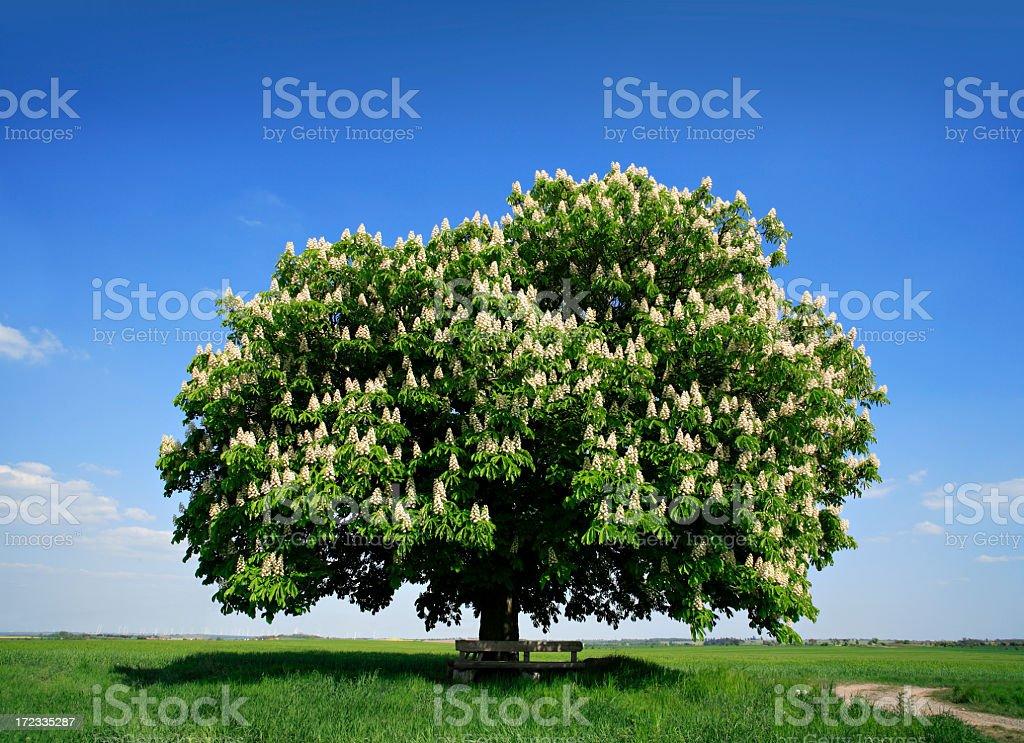 Blossoming Chestnut Tree stock photo