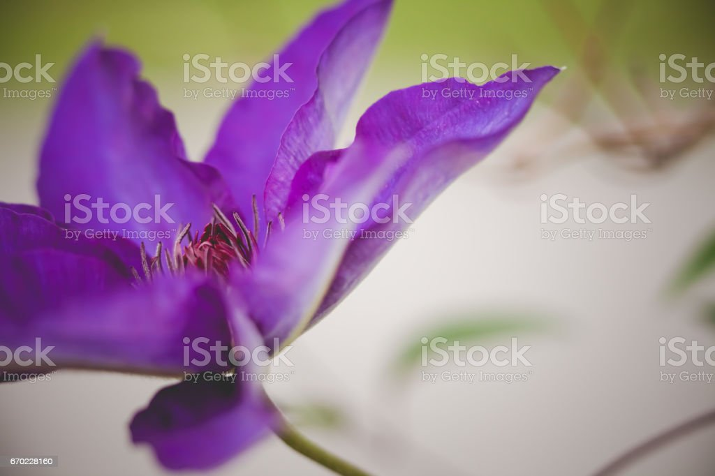 Blossoming clematis stock photo