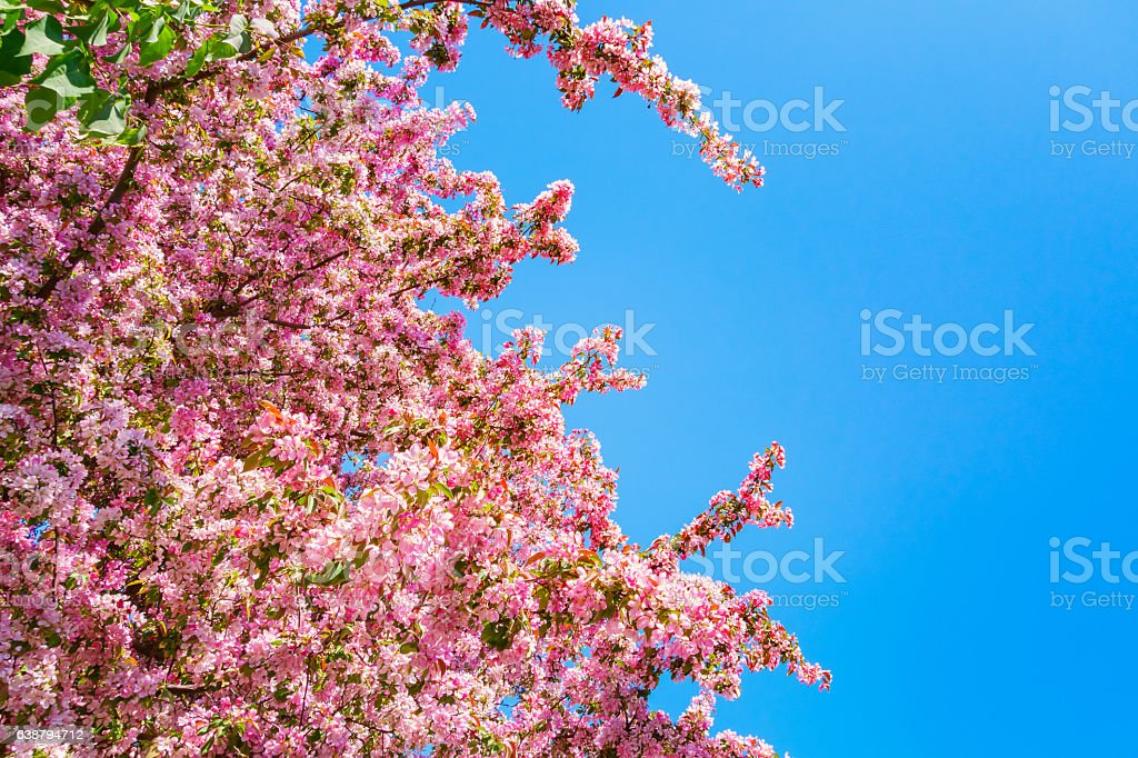Blossoming Crab Apple Tree during Spring stock photo