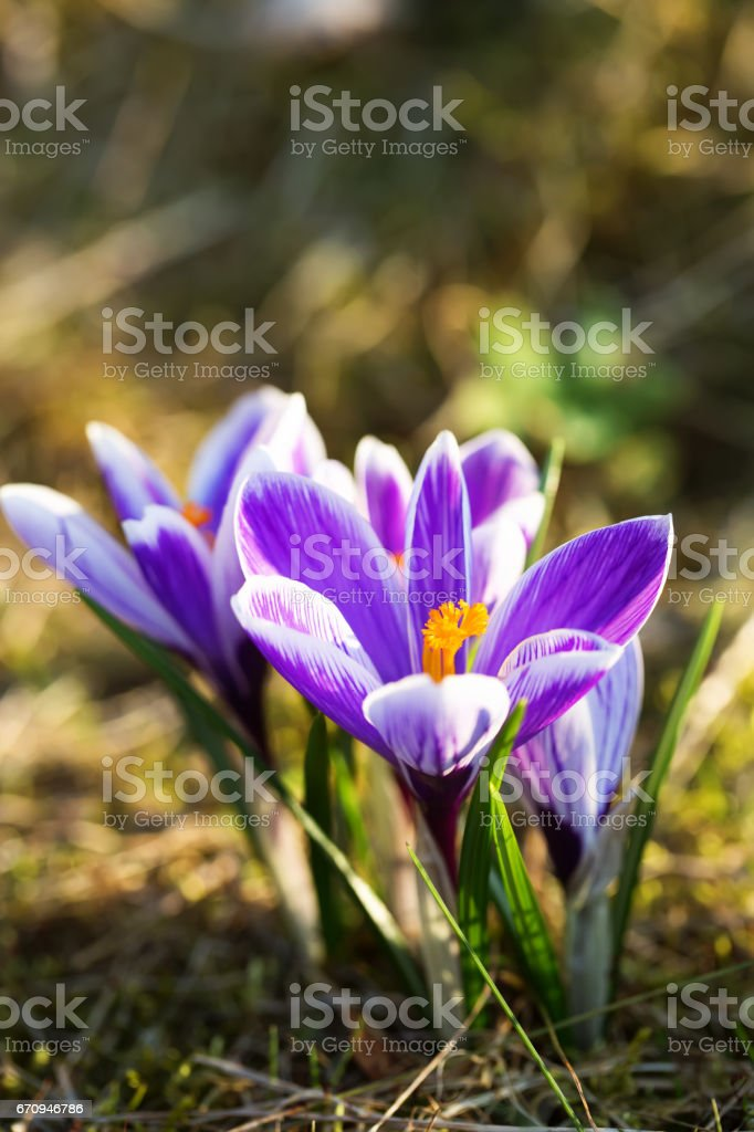 Blossoming crocus flowers or saffron in spring stock photo
