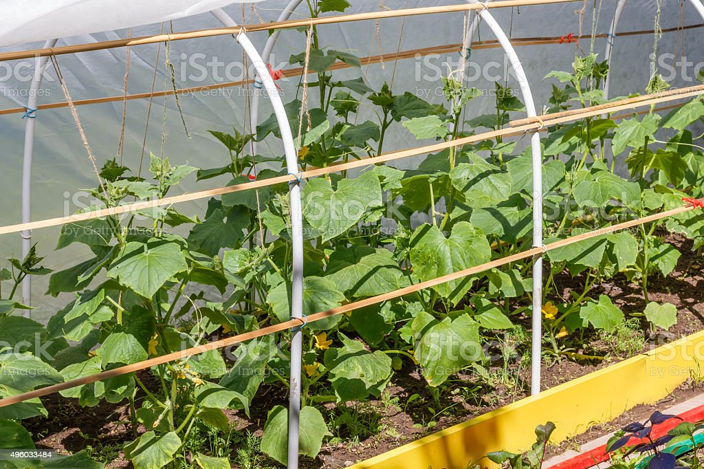 Blossoming cucumber  growing in seedbed  in the  ground. stock photo