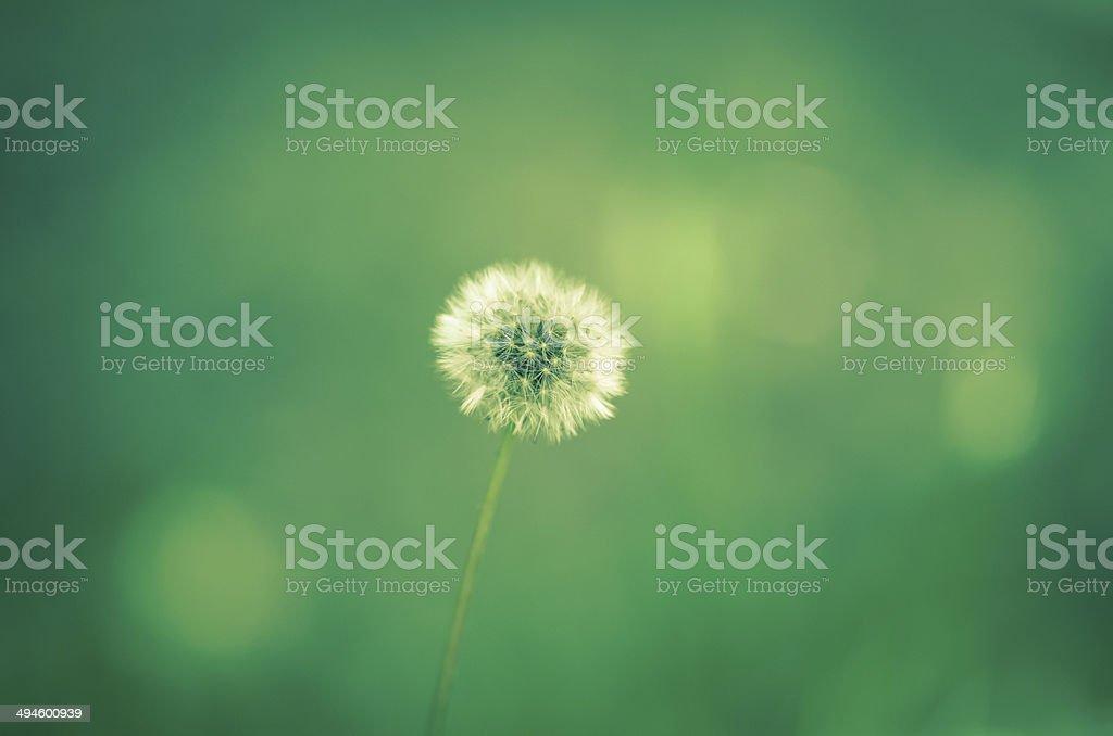 blossoming dandelion stock photo